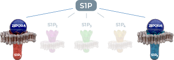 Ozanimod binds with high affinity to S1P receptors 1 and 5